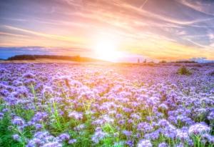 Field of blooming Lacy phacelia (Phacelia tanacetifolia) at sunset
