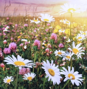 Flower field at sunset.