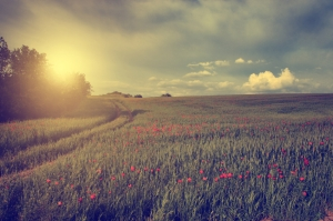 Vintage photo of poppy field in sunset
